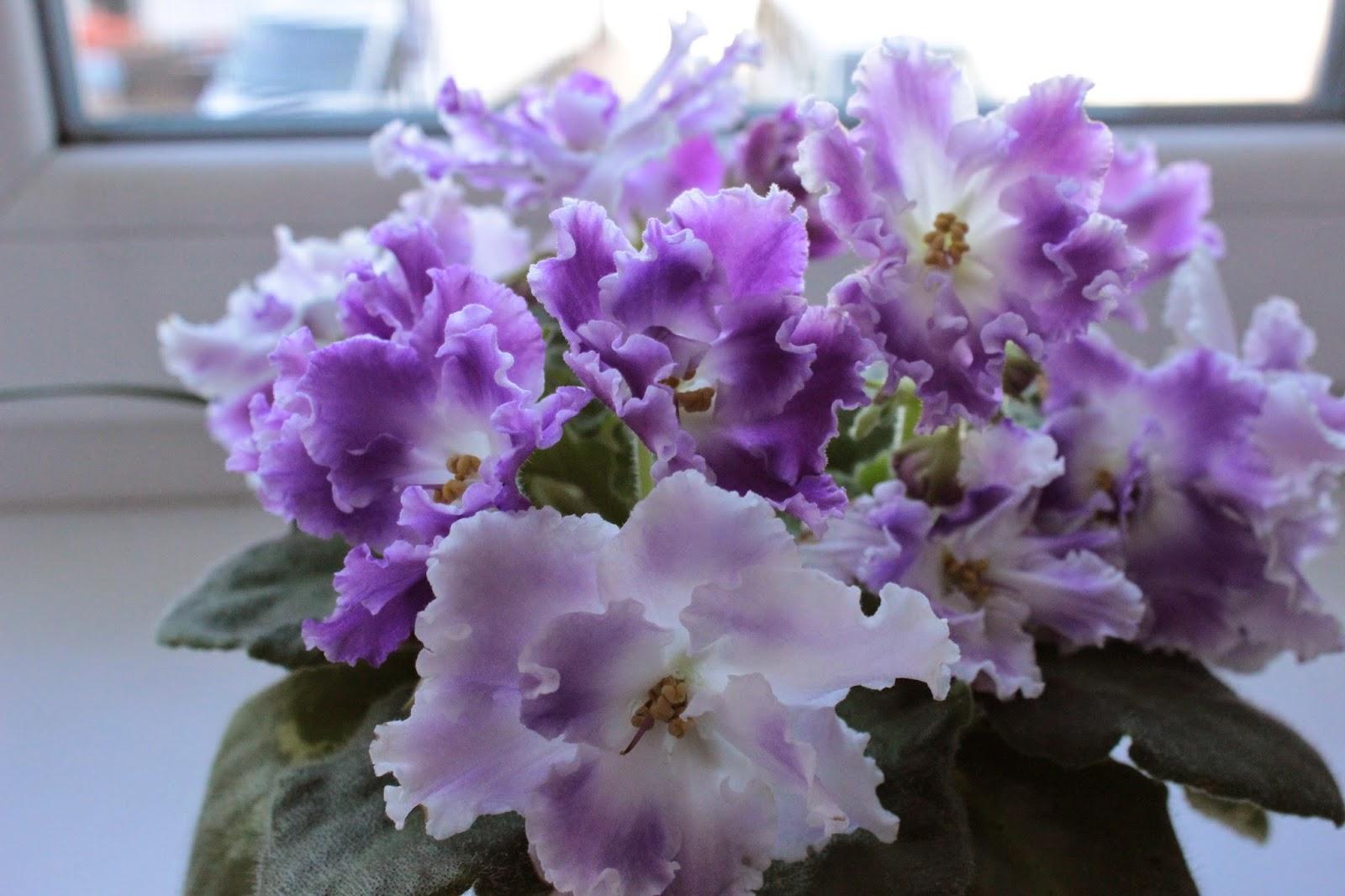 домашние растения, цветы, фиалки, красивые фиалки