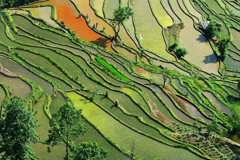 Terasasta polja  Pirincana-polja-11