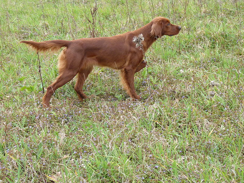 Animal A Day!: Irish Setter