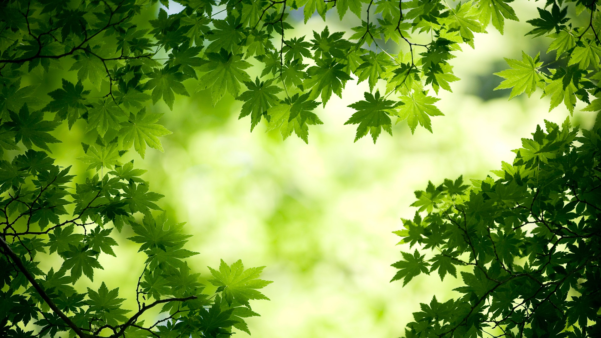 Maple Leaves Summer wallpaper