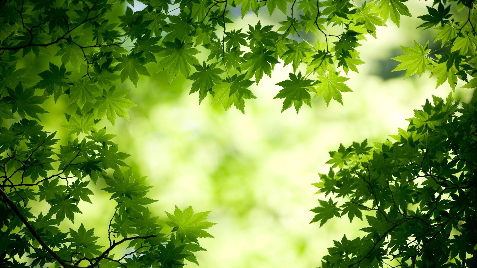 http://3.bp.blogspot.com/-BWNeXLivfBg/UGfufAHqyDI/AAAAAAAAK-k/wHBF7aHUbNU/s0/green-maple-leaves-1920x1080.jpg