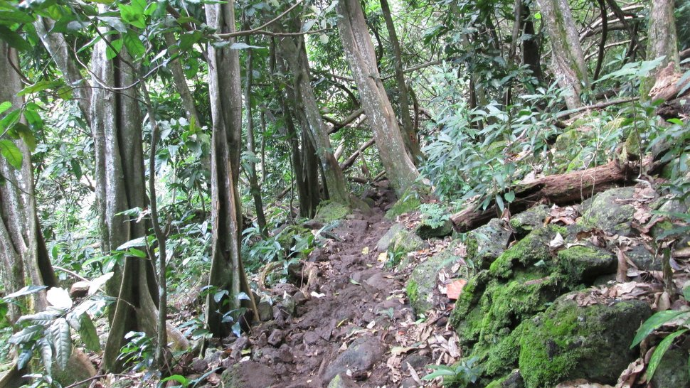 Sentier forestier de Teavaro à Temae - Moorea