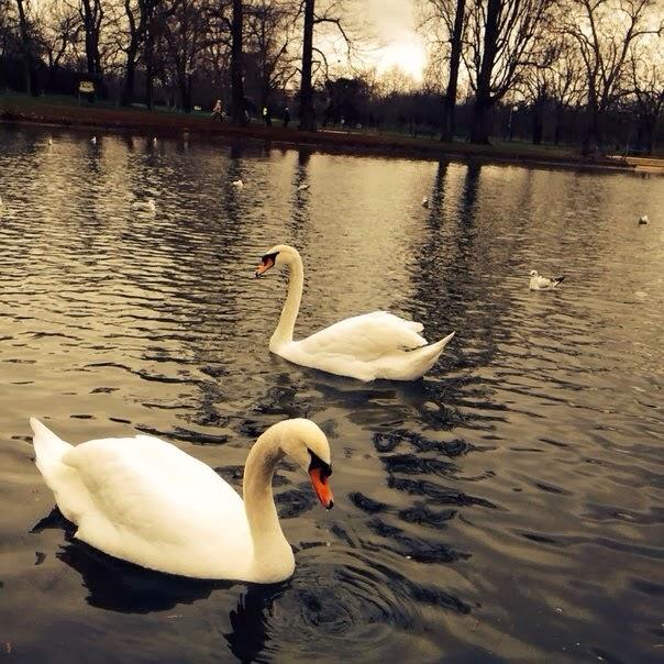 Лебеди в Венсенском лесу