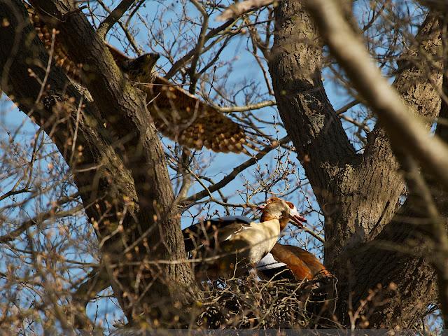 Havik valt Nijlganzen aan - Northern Goshawk attacks Egyptian Geese - Accipiter Gentilis - Alopochen egyptiacus