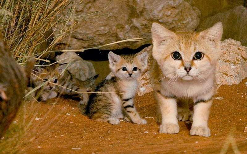 Funny animals of the week - 14 February 2014 (40 pics), sand cat and her kittens