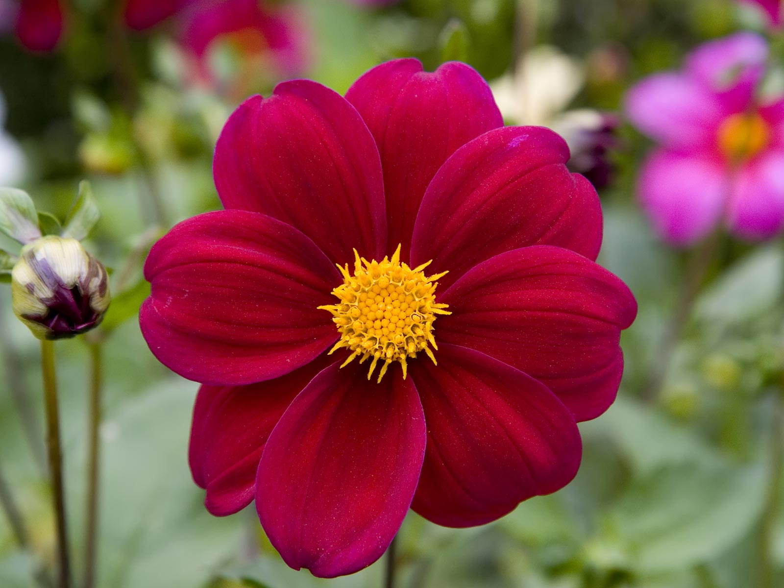 Dahlias Flowers Beautiful Flowers