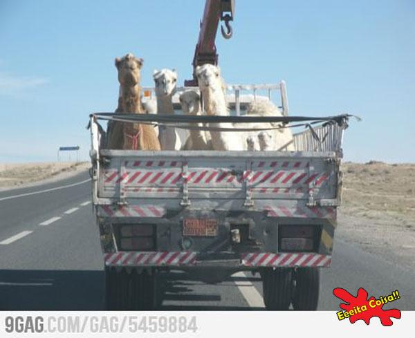 camelos, foto, eeeita coisa