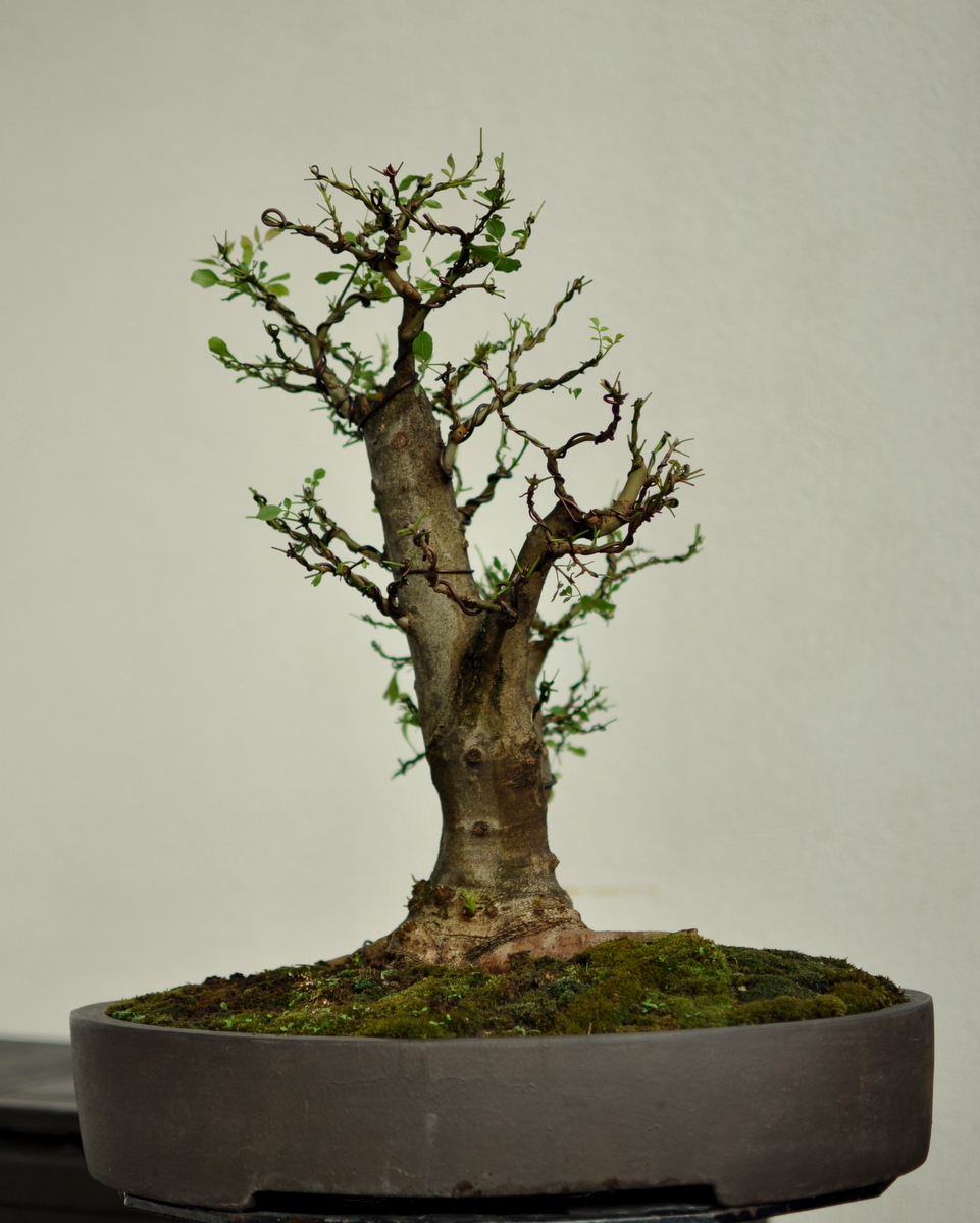 Maros Bonsai Blog Fraxinus No1 After Defoliation And Wiring