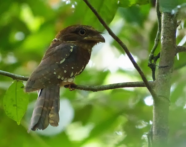 Goulds Frogmouth