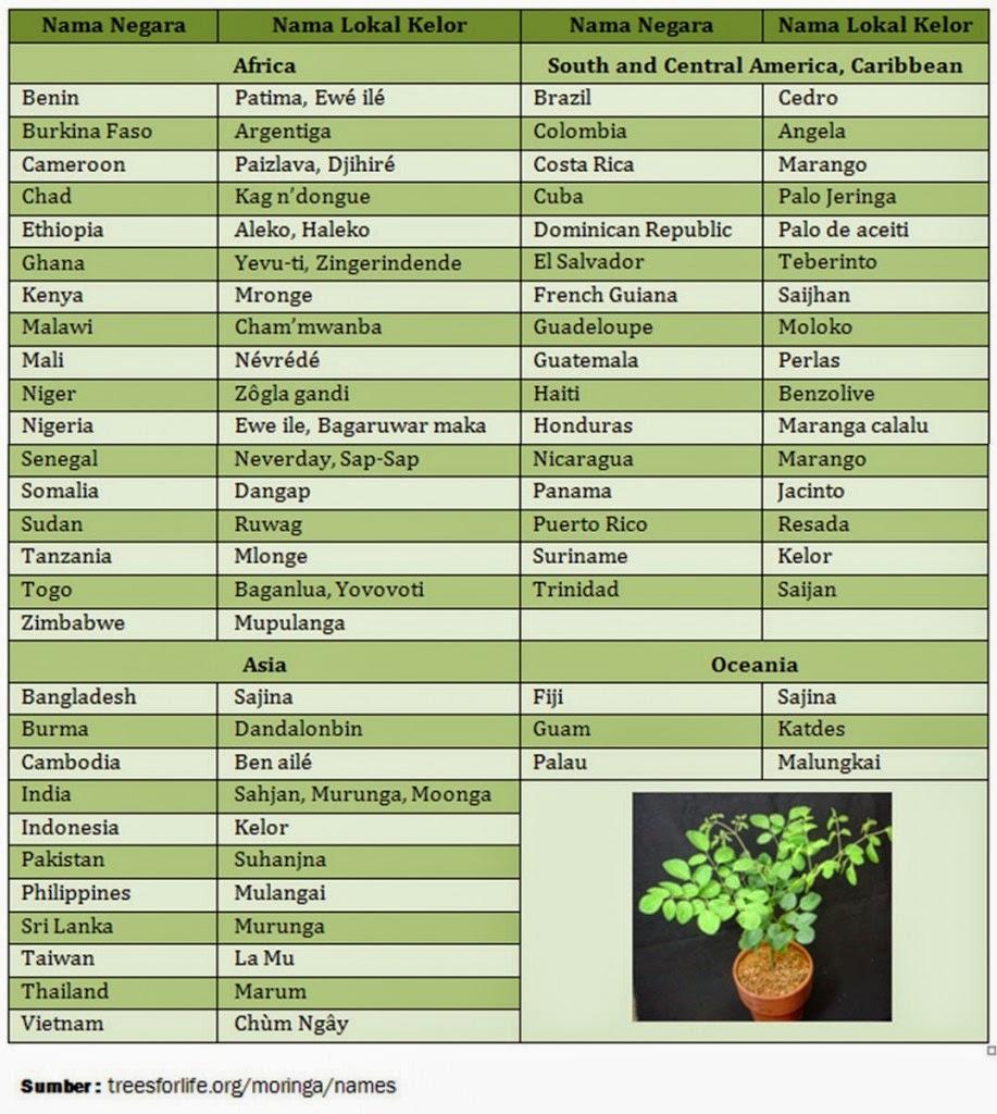nama penyebutan internasional untuk pohon kelor
