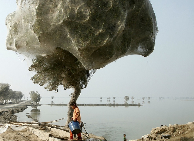 spider+web+coccoon+pakistan+cover+trees+5.jpg