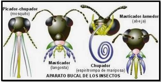 Los insectos: Aparato bucal de los insectos