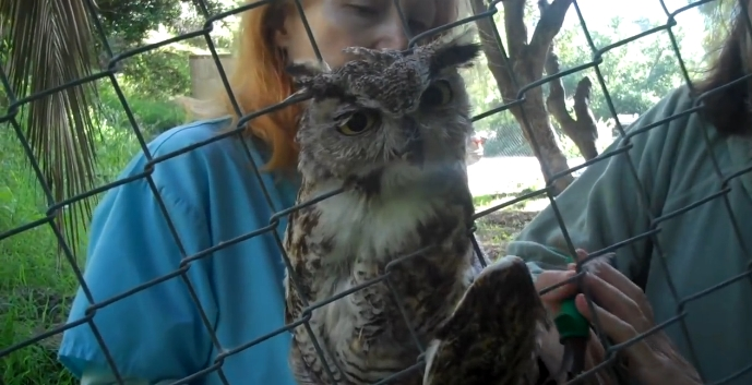 Amazing Rescue of Owl Stuck in Fence (Rescue Video)