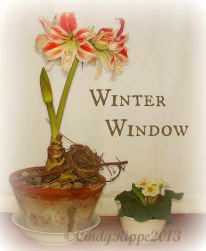 amaryllis, primrose, winter windowsill, growing flowers in the winter, Cindy Rippe