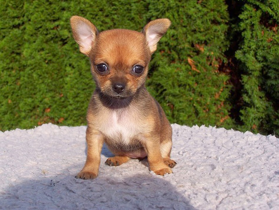 different breeds of dogs: chihuahua puppies, puppy ...