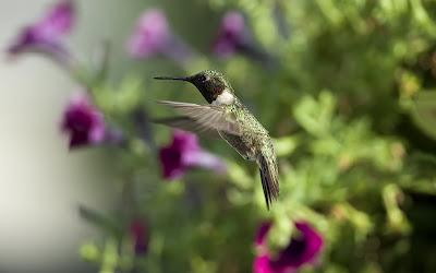 Hermoso colibri entre las flores