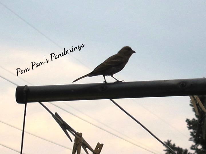 Pom Pom's Ponderings