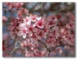 Sakura (flor de cerezo)