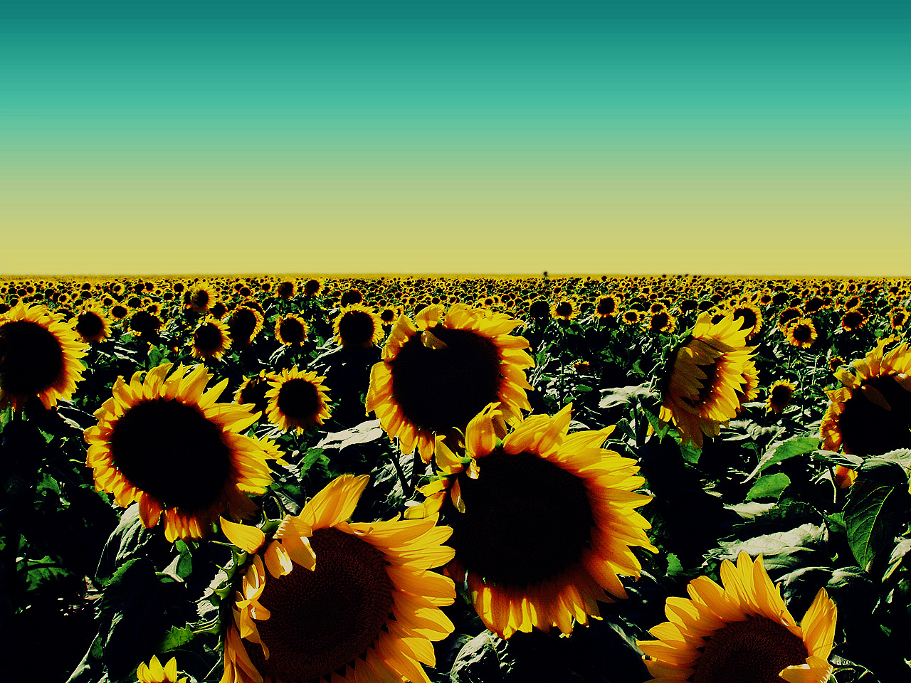 http://3.bp.blogspot.com/-B_A6sjCl8gk/Tb0APuqVU5I/AAAAAAAAIjM/W3irGbIRL8o/s1600/Sunflower+Wallpaper+by+free+wallpapers+%252814%2529.jpg