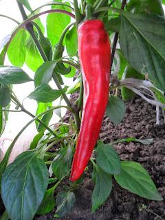 Семенной плод горького перца