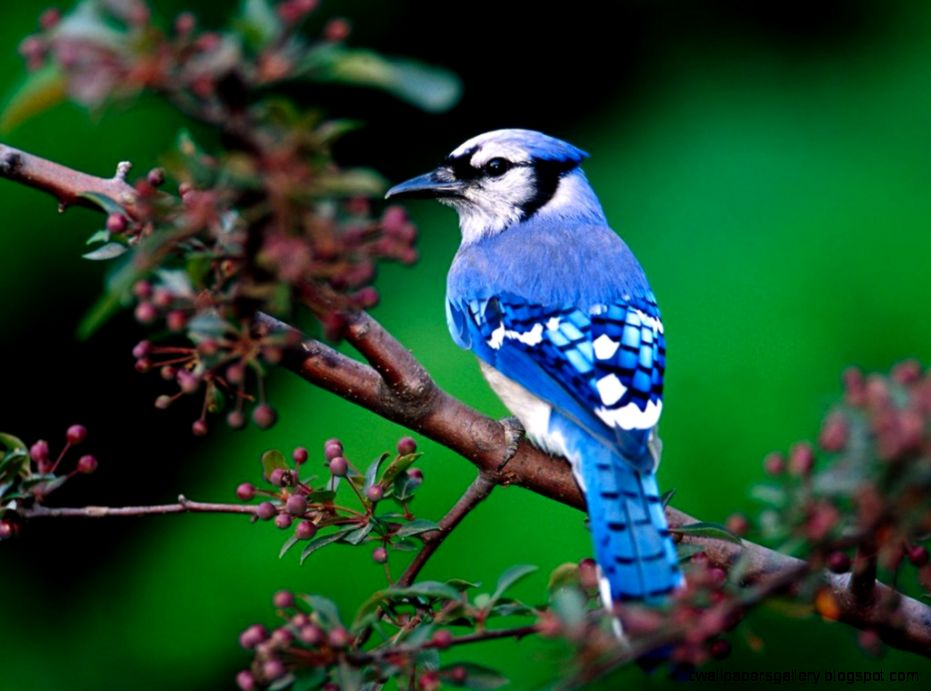 Blue Jay Bird Nature