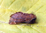 Latest New Macro Moth Species - Plumed Prominent