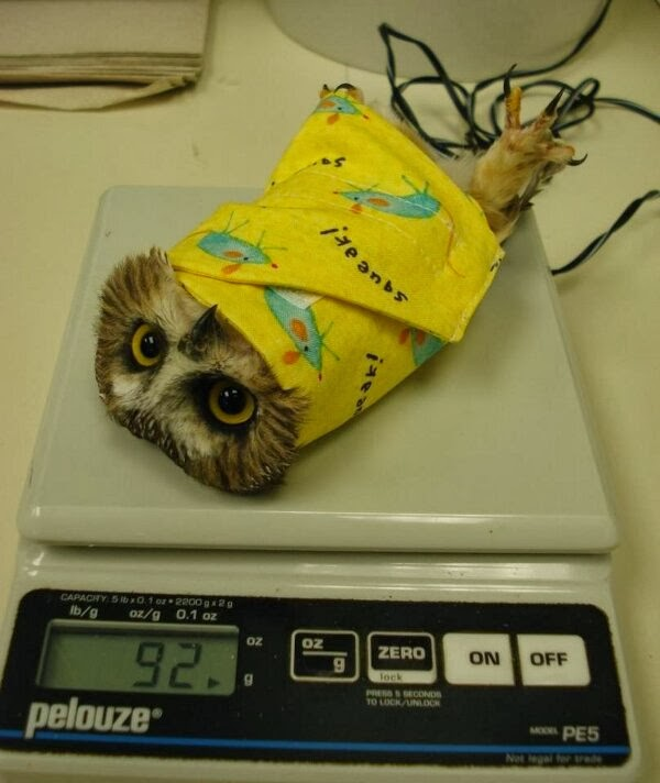 Funny animals of the week - 27 December 2013 (40 pics), baby owl being weighted