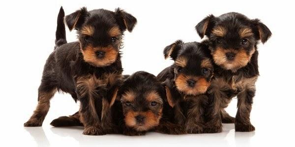 Perros Razas Pequeñas Pelo Corto - Las razas de perros más pequeñas The smaller dogs