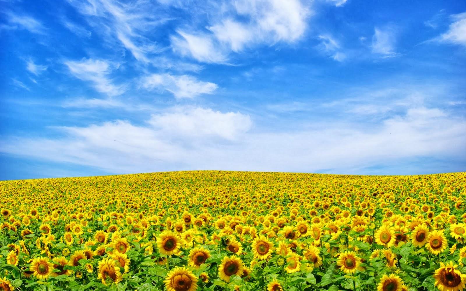 Gambar Taman Indah Bunga Matahari Kumpulan Gambar Gambar Pilihan Gambar Lucu Gambar Bergerak