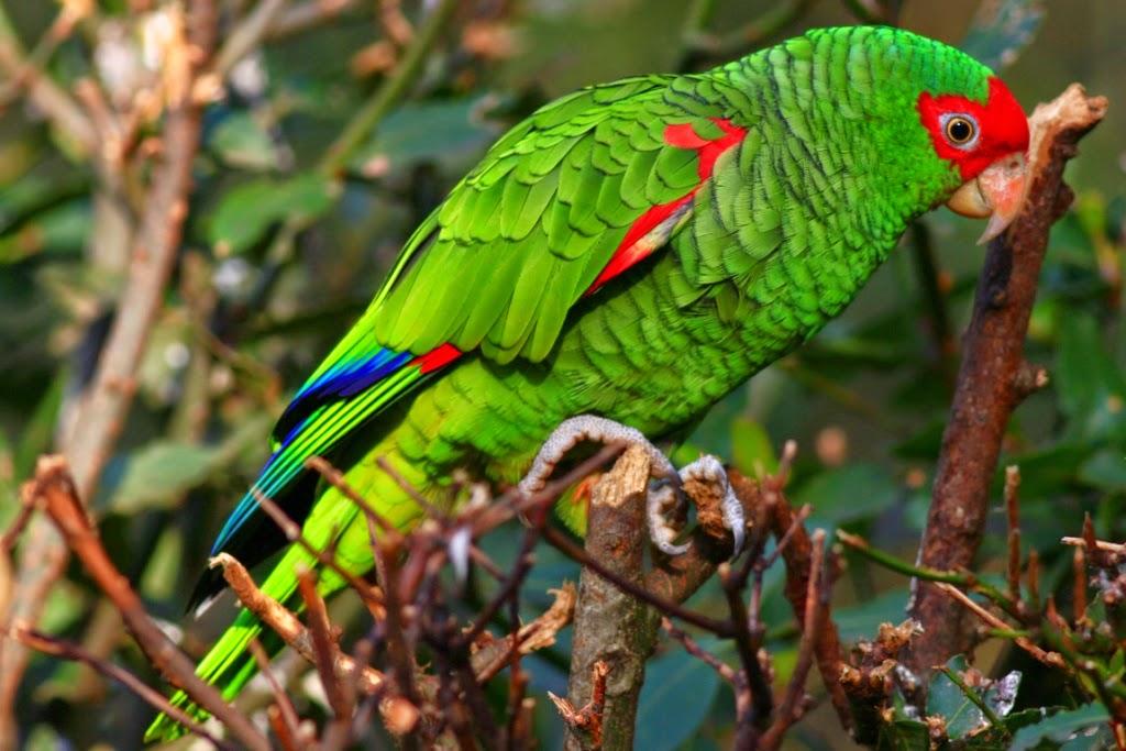 Resultado de imagem para papagaio charão