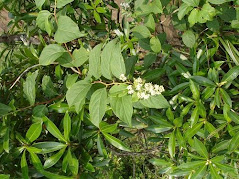 Thunder God Vine (Tripterygium wilfordii  Hook) Extract: <br> A Potent Natural PAK Blocker