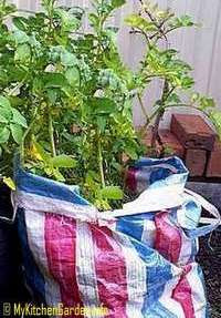 Potatoes Growing in a Bag