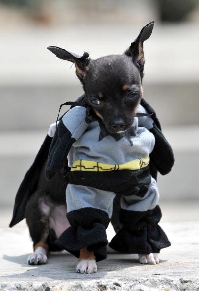 best dog halloween costumes & Bella Bella Vita: Dog Lovinu0027 - Best Halloween Dog Costumes