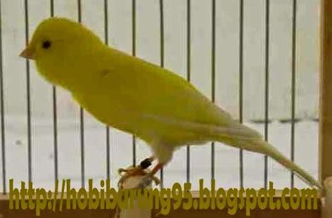 Perawatan Harian Burung Kenari yang Benar Agar Menjadi Gacor