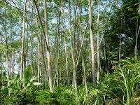 Merawat Tanaman Albasia atau Sengon mempercepat pertumbuhan batang sengon