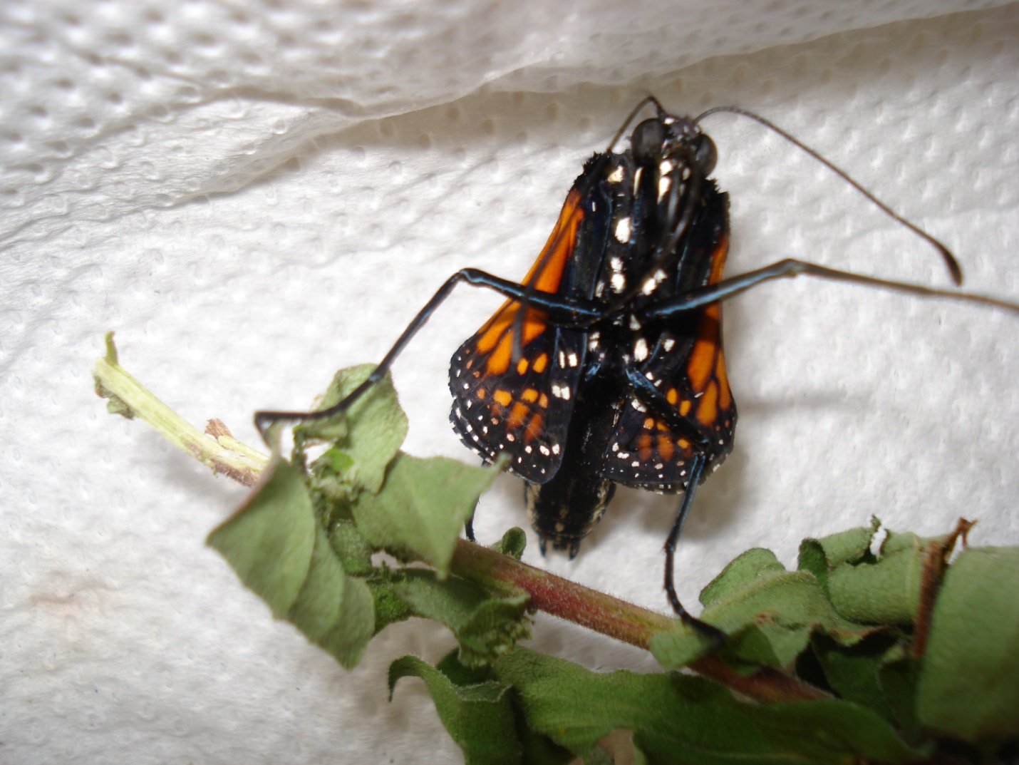 The lucky butterfly sense and function environment culture the butterfly came out of its chrysalis late the chrysalis was open but it only came part way out we thought it was dead biocorpaavc Gallery