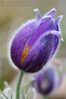 Photo macro anémone pulsatille fleur sauvage en bouton