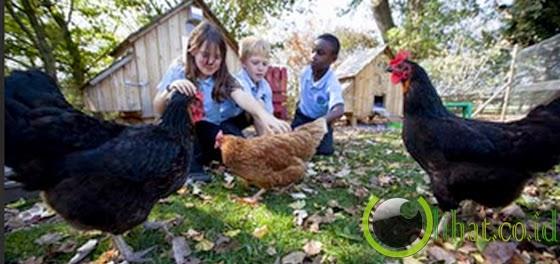 Sekolah Pembelajaran Ayam