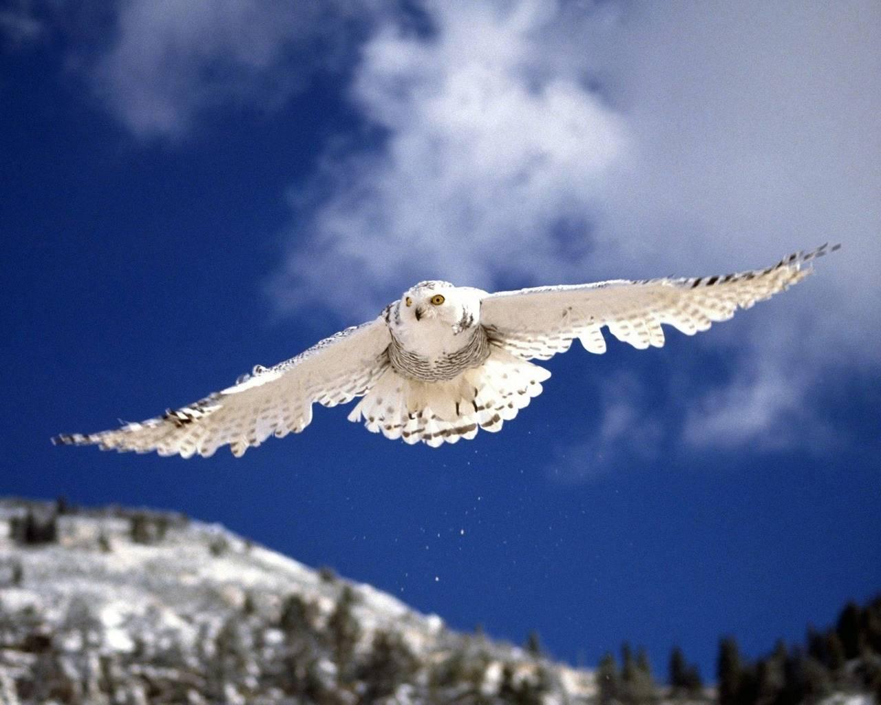 http://3.bp.blogspot.com/-BbmaHEEQvA4/T8oTKXcBVPI/AAAAAAAAJdA/vp_CrThZTeI/s1600/white-owl-wallpaper.jpg
