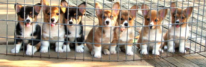 Mrs. G's Corgi Camp