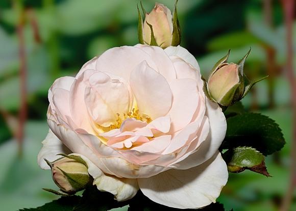 Sirius rose сорт розы фото