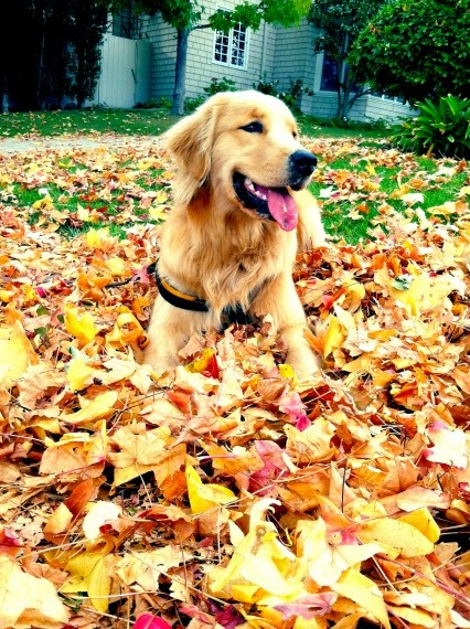 International Golden Retriever Day! Falling in love with Goldens