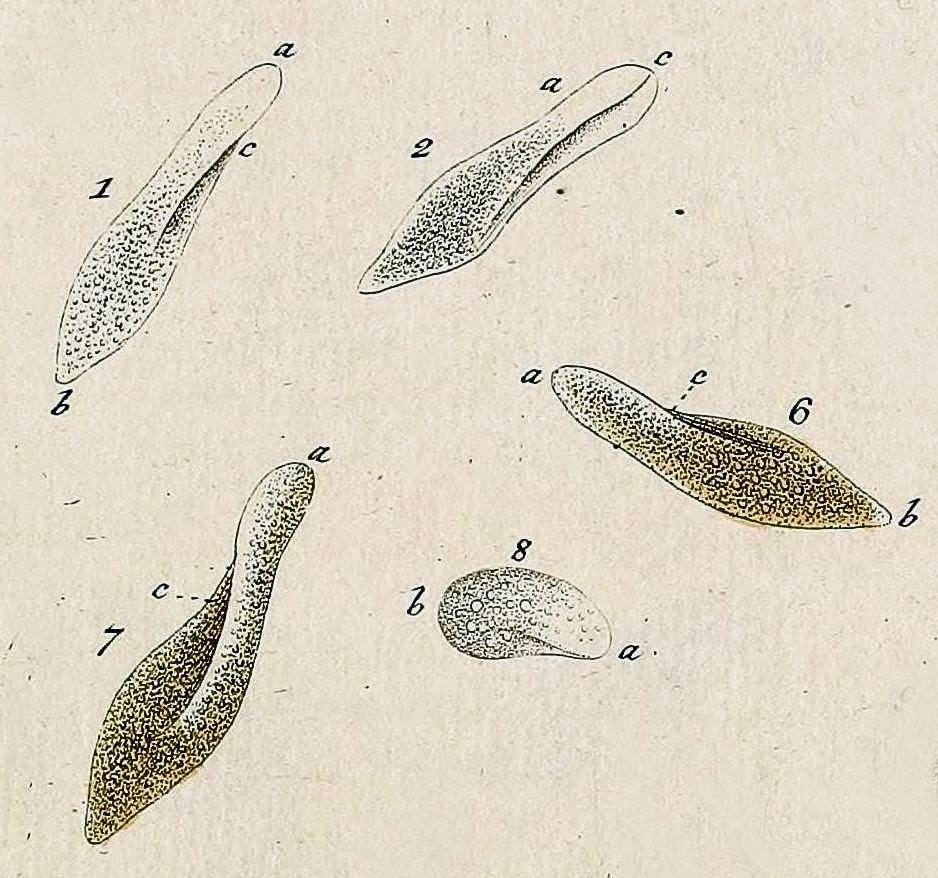 parmecium aurelia Definition of paramecium (paramecia) in the audioenglishorg dictionary meaning of paramecium what does paramecium mean proper usage and pronunciation (in phonetic transcription) of the word paramecium.