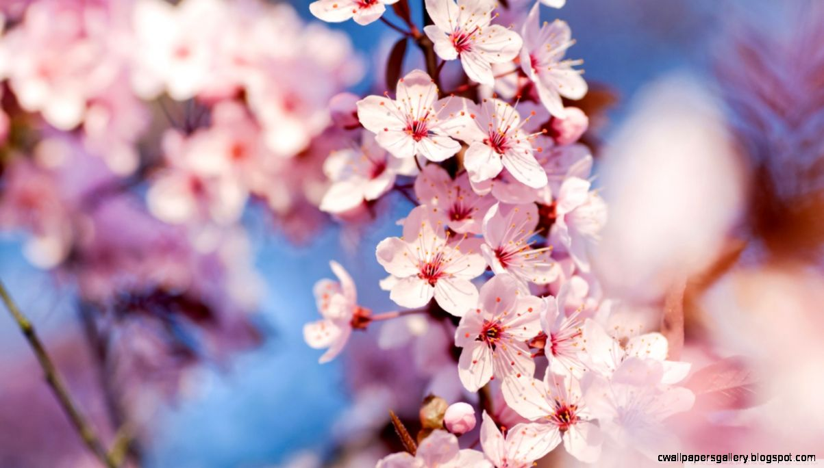 Cherry Blossom HD desktop wallpaper  Mobile  Dual Monitor