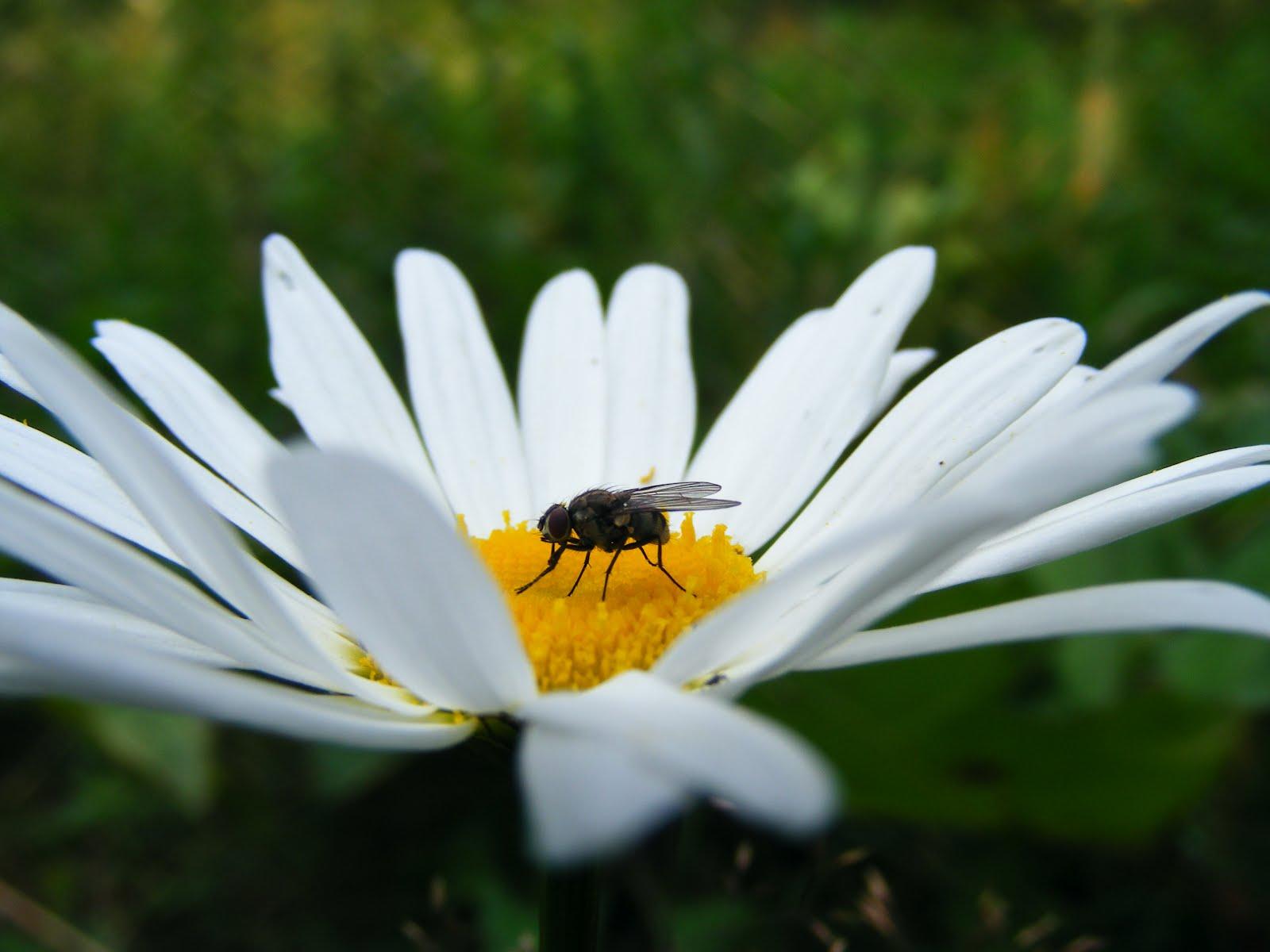 Daisy flower izmirmasajfo
