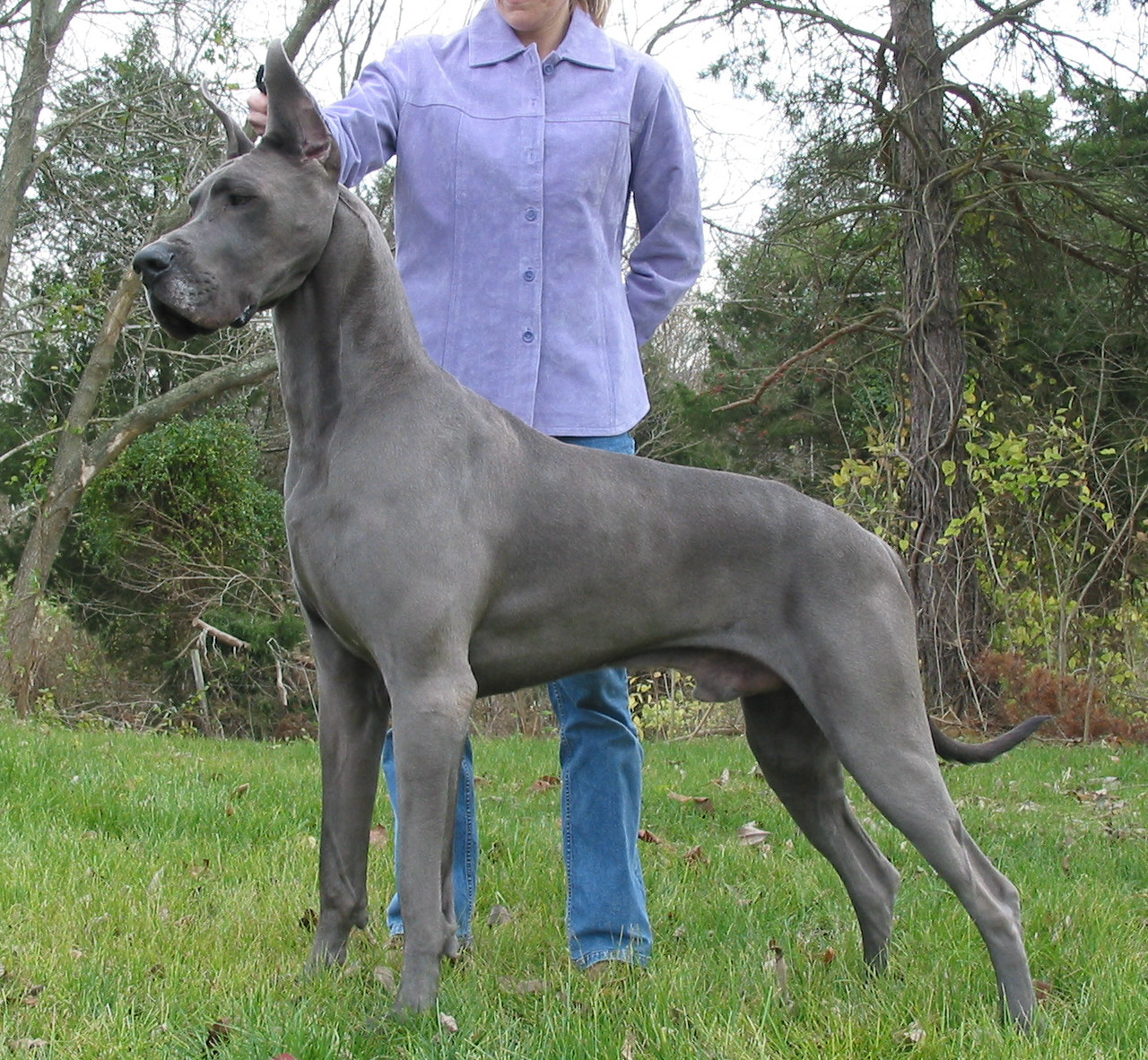 Big Dog Great Dane