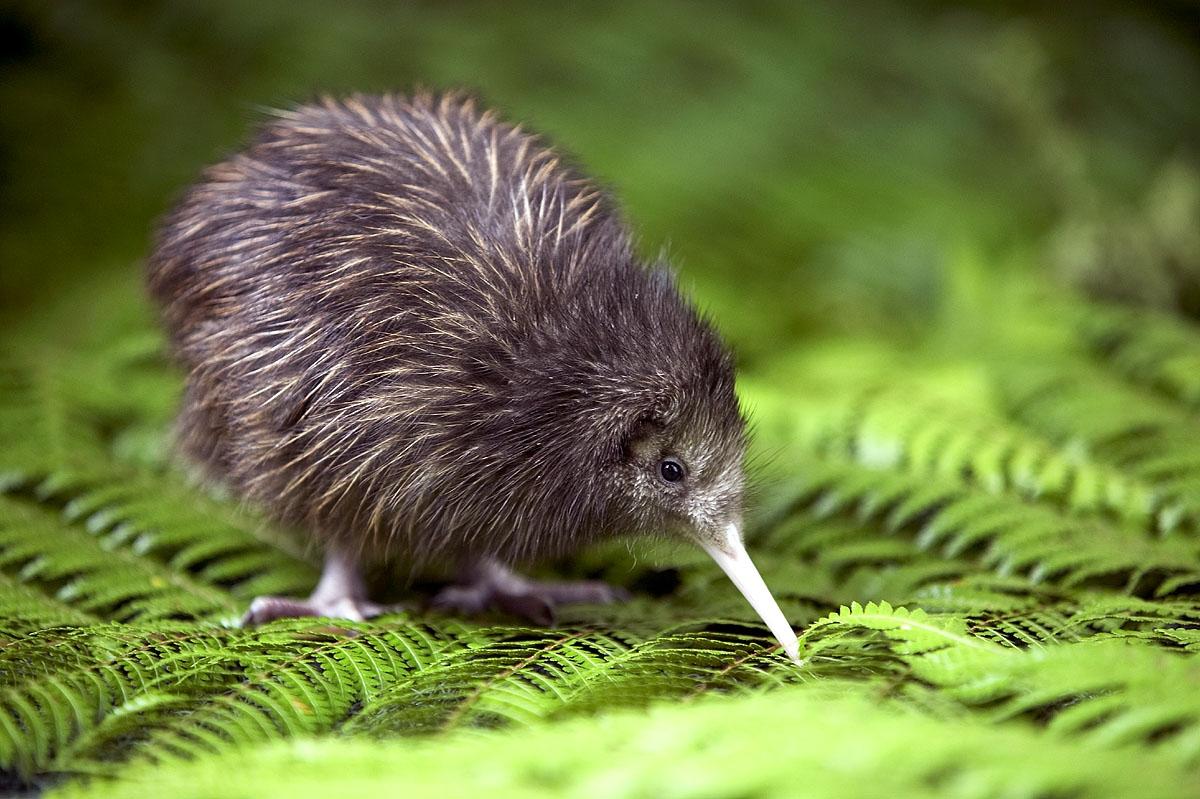 [Image: baby-kiwi.jpg]