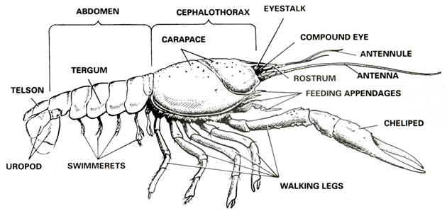Aqua Fanatic: Crayfish Anatomy