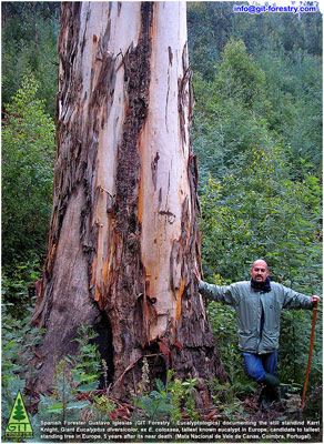 Spanish forester Miguel Angel Cogolludo, Australian botanist Dr Dean Nicolle, German ecologist Annett Boerner, Portuguese chemical engineer Paulo Ferreira and Spanish Forester Gustavo Iglesias identify and measure the Karri Knight, Giant Eucalyptus diversicolor of Portugal, tallest Tree in Europe / El ingeniero de Montes español Miguel Angel Cogolludo, el botanico australiano Dr Dean Nicolle, la ecofisiologa alemana Annett Boerner, el ingeniero quimico portugues Dr. Paulo Ferreira y el forestal español Gustavo Iglesias identifican y miden al Karri Knight, Eucalyptus diversicolor gigante, candidato al arbol mas alto de Europa / Karri Knight, reusachtige Eucalyptus diversicolor boom van Portugal, de hoogste boom in Europa / Karri Knight jättiläinen Eucalyptus diversicolor puu Portugalin korkein puu Euroopassa / Karri Knight Eucalyptus diversicolor arbre géant du Portugal, plus grand arbre en Europe / Karri Knight Eucalyptus diversicolor Baumriesen von Portugal, höchste Baum in Europa / ポルトガルは、ヨーロッパで最も高い木のカリーナイト巨大ユーカリdiversicolorツリー / Кари рыцарь гигантский эвкалипт diversicolor дерева Португалии, высокое дерево в Европе / 卡里骑士巨桉葡萄牙,欧洲最高的树树九孔 / Karri Knight diversicolor cây bạch đàn khổng lồ của Bồ Đào Nha, cây cao nhất tại châu Âu / Karri Knight jätte Eucalyptus diversicolor träd i Portugal, högsta träd i Europa / O Karri Knight arvore de eucalipto diversicolor de Portugal, a árvore mais alta na Europa / Gustavo Iglesias Trabado / GIT Forestry Consulting SL, Consultoría y Servicios de Ingeniería Agroforestal, Galicia, España, Spain / Eucalyptologics, information resources on Eucalyptus cultivation around the world / Eucalyptologics, recursos de informacion sobre el cultivo del eucalipto en el mundo