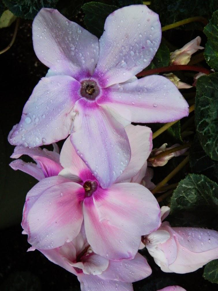 Fleur En Vogue Pink Cyclamen persicum Allan Gardens Conservatory 2015 Spring Flower Show by garden muses-not another Toronto gardening blog